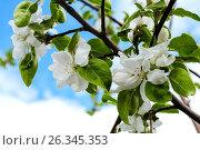 Цветущая яблоня на фоне синего неба. Стоковое фото, фотограф Лариса К / Фотобанк Лори