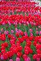 Яркие красные тюльпаны на клумбе, фото № 26352585, снято 13 мая 2017 г. (c) Natalya Sidorova / Фотобанк Лори