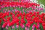 Яркие красные тюльпаны на клумбе, фото № 26352625, снято 13 мая 2017 г. (c) Natalya Sidorova / Фотобанк Лори
