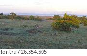 Купить «zebras grazing in savanna at africa», видеоролик № 26354505, снято 18 апреля 2017 г. (c) Syda Productions / Фотобанк Лори