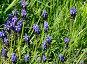 Мускари широколистный (лат. Мuscari latifolium Kirk), фото № 26360165, снято 25 мая 2017 г. (c) Овчинникова Ирина / Фотобанк Лори