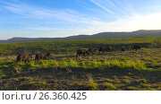 Купить «Африканские буйволы в кратере Нгоронгоро. Танзания. Африка», видеоролик № 26360425, снято 15 февраля 2017 г. (c) Сергей Петренко / Фотобанк Лори