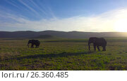 Купить «Слоны в кратере Нгоронгоро. Танзания. Африка», видеоролик № 26360485, снято 15 февраля 2017 г. (c) Сергей Петренко / Фотобанк Лори