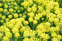 Common yellow lime green Euphorbia cyparissias, the cypress spurge, a species of plant in genus euphorbia with lime green flower, фото № 26360789, снято 20 мая 2017 г. (c) Никита Ковалёв / Фотобанк Лори