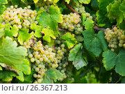 Купить «grape bunches», фото № 26367213, снято 22 сентября 2016 г. (c) Яков Филимонов / Фотобанк Лори