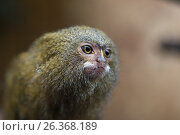 Купить «Pygmy marmoset or Cebuella pygmaea», фото № 26368189, снято 27 марта 2019 г. (c) Mikhail Starodubov / Фотобанк Лори