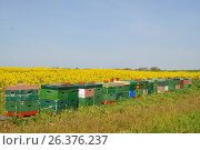 Купить «Honey bee, hive bee (Apis mellifera mellifera), Langstroth bee hives, styrofoam beehives at a blooming rape field, Germany, Lower Saxony, East Frisia, Krummhoern-Greetsiel», фото № 26376237, снято 5 мая 2016 г. (c) age Fotostock / Фотобанк Лори