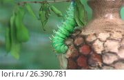 Гусеница на ветке. Стоковое видео, видеограф Вячеслав Сыпченко / Фотобанк Лори