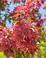 Цветущая декоративная яблоня сорта Роялти (Royalty), фото № 26391441, снято 24 мая 2017 г. (c) Валерия Попова / Фотобанк Лори