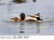 Mallard (Anas platyrhynchos), copulation in water, Germany, Bavaria. Стоковое фото, фотограф A. Hartl / age Fotostock / Фотобанк Лори