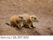 Купить «Black-tailed prairie dog, Plains prairie dog (Cynomys ludovicianus), pups at the den», фото № 26397933, снято 3 июня 2016 г. (c) age Fotostock / Фотобанк Лори