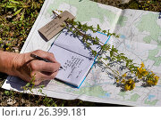 Common St John's-wort, perforate St John's-wort, klamath weed, St. John's-wort (Hypericum perforatum), making a herbarium, writing down date of the collecting site, Germany. Стоковое фото, фотограф F. Hecker / age Fotostock / Фотобанк Лори
