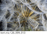 Купить «Meadow goat's beard, jack-go-to-bed-at-noon, meadow salsifify (Tragopogon pratensis), infructescence in front of black background», фото № 26399313, снято 17 июня 2016 г. (c) age Fotostock / Фотобанк Лори