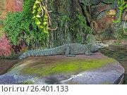 African dwarf crocodile, West African dwarf crocodile (Osteolaemus tetraspis), resting on a rock in water, Germany, Bavaria. Стоковое фото, фотограф A. Hartl / age Fotostock / Фотобанк Лори