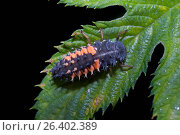 Купить «Multicoloured Asian beetle (Harmonia axyridis), larva, Germany», фото № 26402389, снято 24 июня 2006 г. (c) age Fotostock / Фотобанк Лори