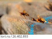 Купить «Hornet, brown hornet, European hornet (Vespa crabro), worker removing exrements from the den, Germany, Bavaria», фото № 26402893, снято 27 сентября 2016 г. (c) age Fotostock / Фотобанк Лори