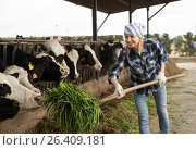 Купить «Female technician feeding cows with grass in livestock barn», фото № 26409181, снято 19 марта 2016 г. (c) Татьяна Яцевич / Фотобанк Лори