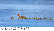 Купить «Greylag goose (Anser anser), female swimming on a lake with its goose chicks, side view, Netherlands, Frisia», фото № 26416949, снято 2 мая 2015 г. (c) age Fotostock / Фотобанк Лори