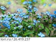 Купить «Незабудка. Цветы», фото № 26419237, снято 24 мая 2017 г. (c) Татьяна Белова / Фотобанк Лори