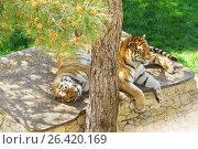 Купить «Пара амурских (или уссурийских, или сибирских, или дальневосточных) (лат. Panthera tigris altaica) отдыхают в тени сосны в вольере сафари-парка Геленджика», фото № 26420169, снято 30 апреля 2017 г. (c) Наталья Гармашева / Фотобанк Лори