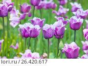 Бахромчатые тюльпаны, фото № 26420617, снято 26 мая 2017 г. (c) Татьяна Белова / Фотобанк Лори