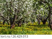 Купить «Цветущий яблоневый сад, парк Коломенское, Москва», фото № 26429013, снято 24 мая 2017 г. (c) Екатерина Брудная-Челядинова / Фотобанк Лори
