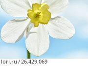 Narcissus flower on sky background.Macro photography. Стоковое фото, фотограф Irina Shisterova / Фотобанк Лори