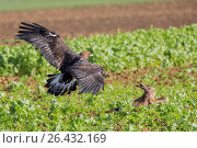 Купить «Golden eagle (Aquila chrysaetos), hunting a hare, Germany», фото № 26432169, снято 15 февраля 2016 г. (c) age Fotostock / Фотобанк Лори