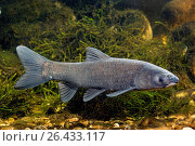 Black carp (Mylopharyngodon piceus), swimming. Стоковое фото, фотограф A. Hartl / age Fotostock / Фотобанк Лори