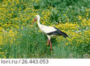 Купить «White stork (Ciconia ciconia), in a meadow in spring, Germany, Baden-Wuerttemberg», фото № 26443053, снято 20 января 2020 г. (c) age Fotostock / Фотобанк Лори