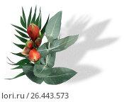 Купить «Amaryllis (Hippeastrum spec.), bouquet», фото № 26443573, снято 24 апреля 2019 г. (c) age Fotostock / Фотобанк Лори