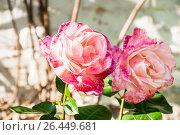 Купить «Гибридная роза на солнце», фото № 26449681, снято 30 мая 2017 г. (c) Алёшина Оксана / Фотобанк Лори