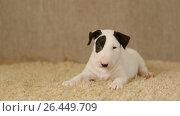 Купить «Spotted puppy of bull terrier», видеоролик № 26449709, снято 25 мая 2017 г. (c) Илья Шаматура / Фотобанк Лори
