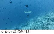 Grey reef shark and school of fish red-toothed triggerfish In blue water - Indian Ocean, Maldives. Стоковое видео, видеограф Некрасов Андрей / Фотобанк Лори