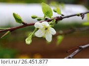 Слива цветёт. Стоковое фото, фотограф Аня Шумкова / Фотобанк Лори