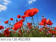 Купить «Цветущие красные маки в поле на фоне голубого неба», фото № 26452093, снято 28 мая 2017 г. (c) Яна Королёва / Фотобанк Лори