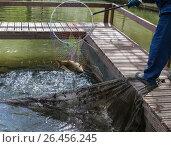 Купить «Работник рыбной фермы вытаскивает подсачек с карпом из воды», фото № 26456245, снято 28 мая 2017 г. (c) Светлана Ельцова / Фотобанк Лори