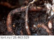 Купить «Geranium (Pelargonium sidoides, Pelargonium reniforme), roots», фото № 26463029, снято 18 октября 2019 г. (c) age Fotostock / Фотобанк Лори