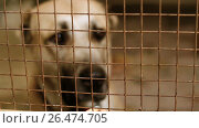 Купить «Homeless Central Asian shepherd dog behind bars in an animal shelter. HD», видеоролик № 26474705, снято 5 июня 2017 г. (c) ActionStore / Фотобанк Лори