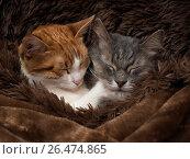 Купить «Cute cat under the warm fur blanket», фото № 26474865, снято 19 ноября 2017 г. (c) Ирина Козорог / Фотобанк Лори