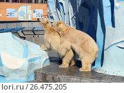 Купить «Размножение белых медведей весенним днем в вольере зоопарка. Город Новосибирск», фото № 26475205, снято 13 апреля 2017 г. (c) Григорий Писоцкий / Фотобанк Лори