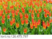 Купить «Тюльпаны Aladdin. Фестиваль тюльпанов на Елагином острове. Санкт-Петербург», эксклюзивное фото № 26475797, снято 27 мая 2017 г. (c) Александр Щепин / Фотобанк Лори