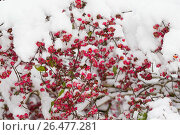 Купить «European spindle-tree (Euonymus europaea, Euonymus europaeus), fruiting branches in snow, Germany», фото № 26477281, снято 8 ноября 2016 г. (c) age Fotostock / Фотобанк Лори