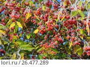 Купить «European spindle-tree (Euonymus europaea, Euonymus europaeus), fruits with hoar frost, Germany», фото № 26477289, снято 12 ноября 2016 г. (c) age Fotostock / Фотобанк Лори