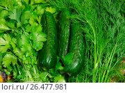 Купить «Три огурца лежат вместе с кинзой и укропом», фото № 26477981, снято 25 мая 2020 г. (c) Игорь Кутателадзе / Фотобанк Лори
