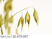 Cultivated oat, Common oat (Avena sativa), fruits. Стоковое фото, фотограф McPHOTO / age Fotostock / Фотобанк Лори