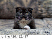 Scottish kitten original color on the sofa. Стоковое фото, фотограф Serghei Poberejniuc / Фотобанк Лори