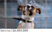 Купить «Close-up shot of muzzle of cute mongrel dog behind the bars of animal shelter. HD», видеоролик № 26493889, снято 5 июня 2017 г. (c) ActionStore / Фотобанк Лори