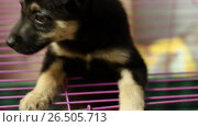 Купить «Homeless animals. Close-up shot of cute mongrel little puppy getting out from the cage in an animal shelter. HD», видеоролик № 26505713, снято 5 июня 2017 г. (c) ActionStore / Фотобанк Лори