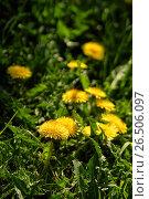 Купить «Close up of blooming yellow dandelion flowers», фото № 26506097, снято 27 мая 2017 г. (c) Илья Малов / Фотобанк Лори